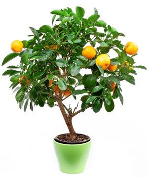 Small tangerines tree
