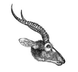 Antelope Head 104