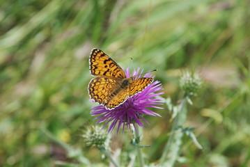 farfalla sul fiore viola