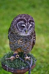 Fototapete - Timid chaco owl bird of prey during falconry display
