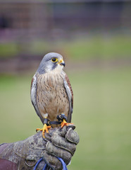 Fototapete - Male kestrel bird of prey raptor during falconry display