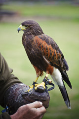 Fototapete - Harris hawk bird of prey during falconry display