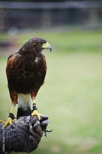 Fototapete Harris hawk bird of prey during falconry display