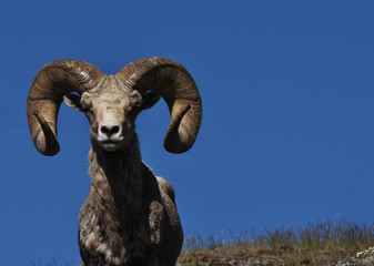 Bighorn Sheep with Blue Sky