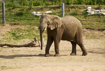 młody słoń w zoo 3