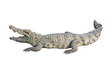 Autocollant pour porte Crocodile crocodile on white background