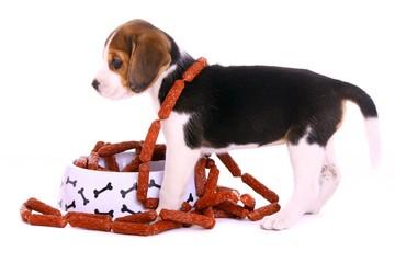 Beagle Welpe seitlich mit Napf voll Würstchen