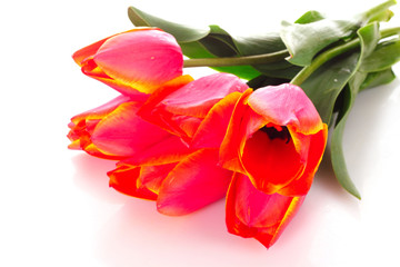 Red tulips on white background