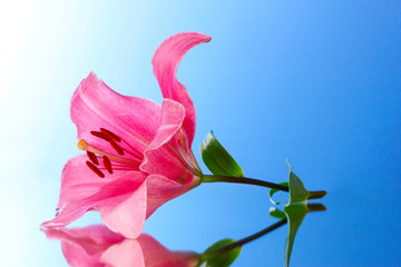 Pink lily flower on blue background with reflection