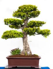 Buchsbaum als Bonsai