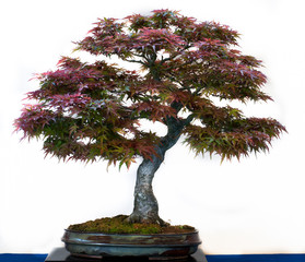 Roter Fächerahorn als Bonsai