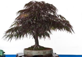 Acer palmatum atropurpureum als Bonsai
