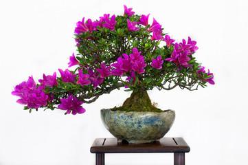 Blütenbonsai Satsuki-Azalee