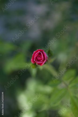 Rose Rouge Floral Fleur Amour Jardin Parc Vegetal Stock Photo