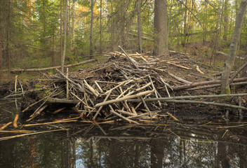 Beaver damming in forest