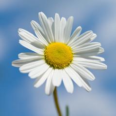 Chamomile flower against the sky