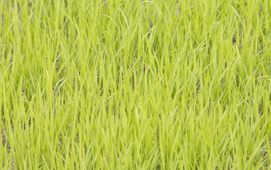 Green grass in a rice plantation