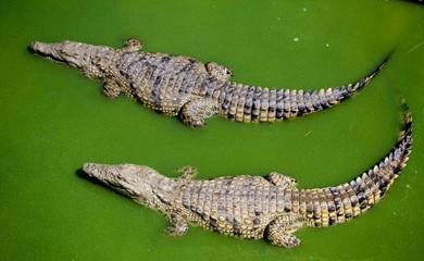 Türaufkleber Crocodile Zwei Krokodile