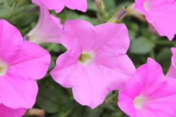 ピンクのペチュニアの花
