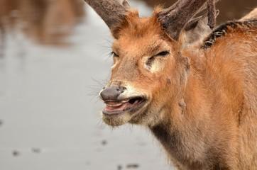 riant deer