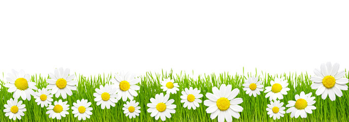 Wall Mural - Green grass and chamomiles