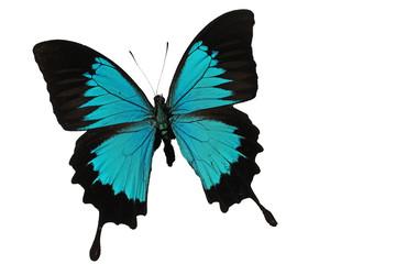 Papillon d amazone