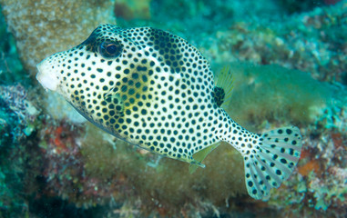 Smooth Trunkfish on a reef in south east Florida.