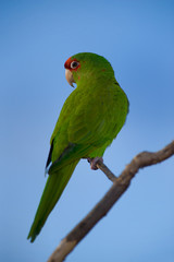 Colorful Green Parrot Isolated Over Blue Sky