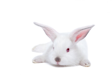 Cute white isolated baby rabbit