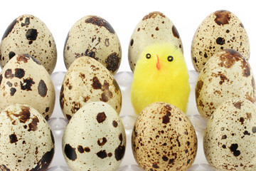 Some quail eggs and young chicken in egg carton