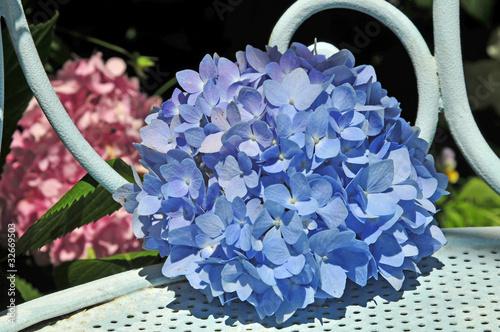 Ortensie Blu : Quot ortensie blu immagini e fotografie royalty free su