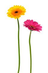 Poster Gerbera yellow and pink gerber