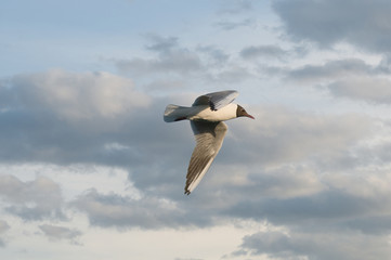 Seagull - a symbol of freedom