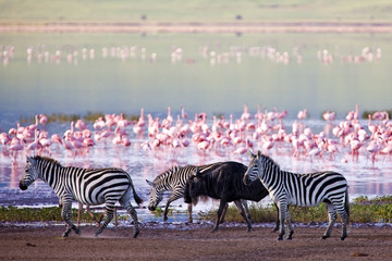 Foto op Canvas Zebra Zebras and a wildebeest in the Ngorongoro Crater, Tanzania