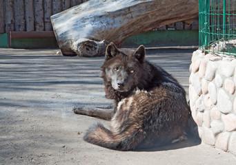 Wall Mural - Alaskan wolf (C. Lupus pambasileus)