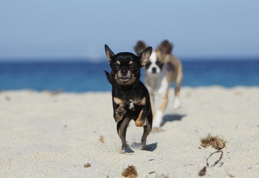 deux chihuahuas se poursuivant sur la plage
