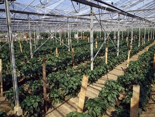 Greenhouse Full Of Green Peppers