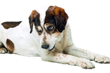liegender braun-weisser Hund blickt nach oben freigestellt