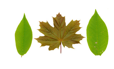 Maple leaf and other green leaf composition