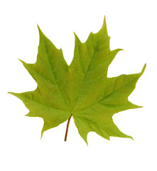 Maple leaf. Isolated on white background