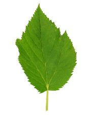 Green leaf. Isolated on white