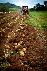 Photo sur Toile Sauvage Potato field