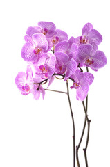 Branch pink orchid