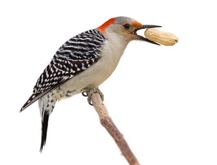 red bellied woodpecker eats a peanut