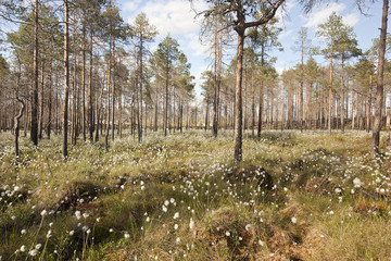 Cotton grass grows in pine forest