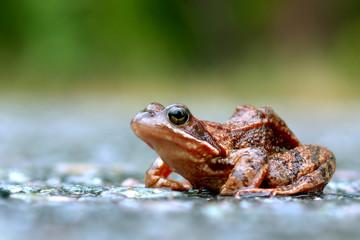 Hemitt the frog