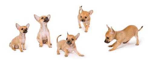 Toy Terrier puppy