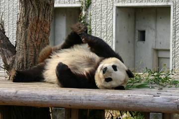 ジャイアントパンダのエクササイズ
