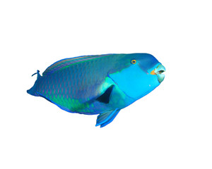 Steepheaded Parrotfish isolated on white background