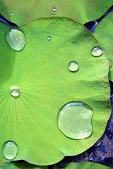 Drop of water on a lotus leaf
